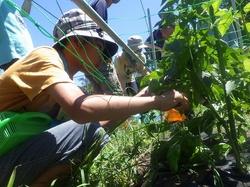 17野力野菜収穫3.jpg